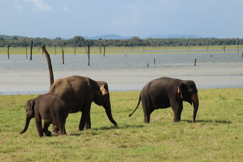 Family of elephants at Kaudulla