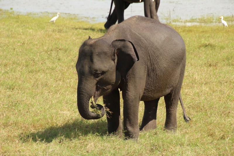 Kaudulla Elephant
