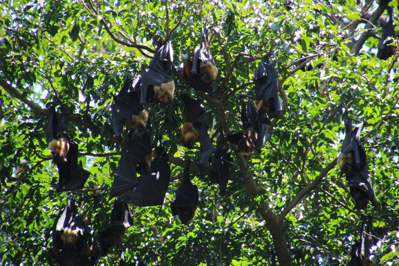 Roosting bats at the Botanical Gardens
