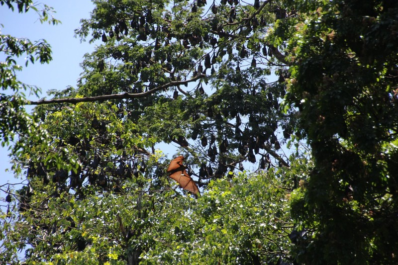 Flying Fox in daytime