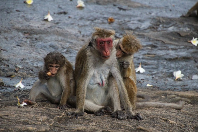 Macaque family by the cave temples in Dambulla - Sri Lanka
