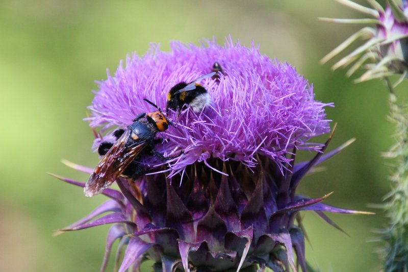 Thistle - with a selection of bugs!