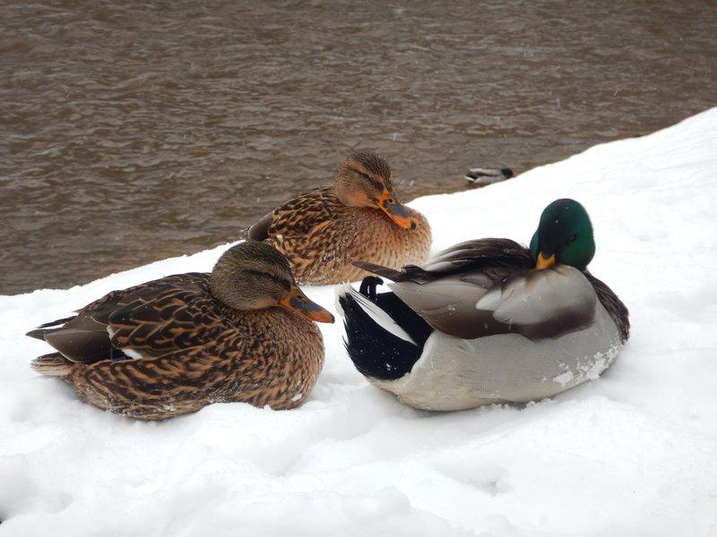 Ducks in Bernardine Park