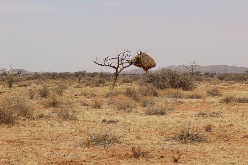 Social Weaver Nest in Tree