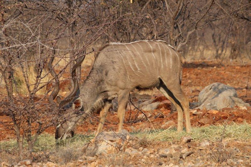 Kudu feeding in the early morning