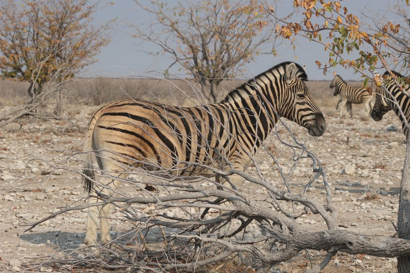 Zebra at Ombika Waterhole