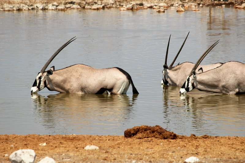 Oryx Bathing at Okaokuejo