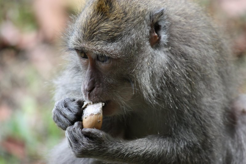 Hubgry Macaque