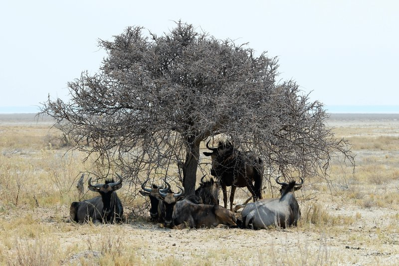Wildebeast sheltering at midday