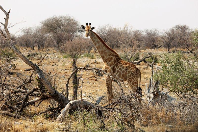 Klein Okevi Waterhole Giraffe