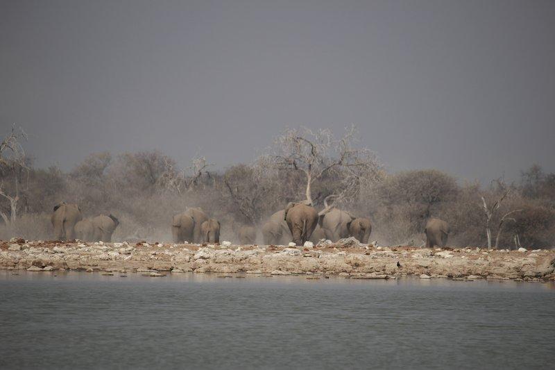 Herd of Elephants Leaving Klein Namutoni