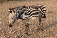 Zebra at dawn