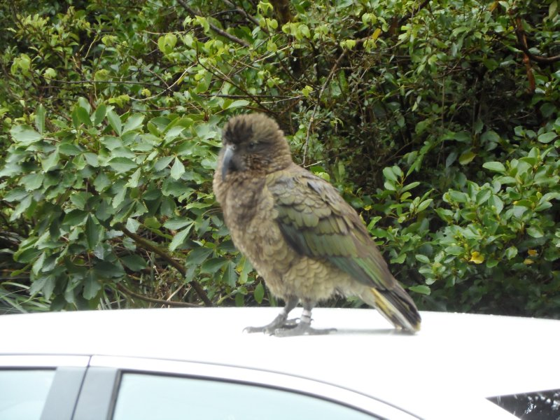 Kea on the roof of our rental car