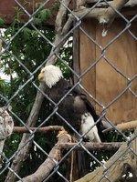 Eagle at Alaska Wildlife Conservation Centre