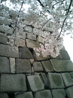 Castle Wall and Cherry Blossom