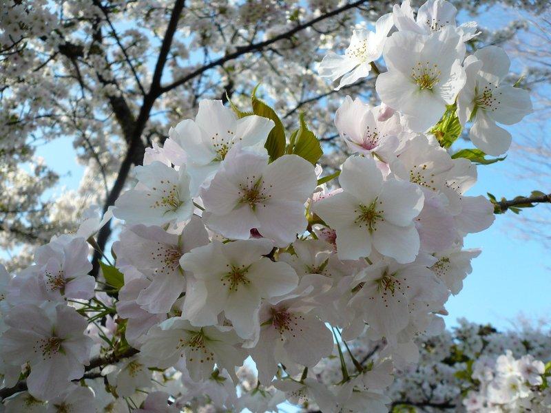 Cherry Blossoms Study