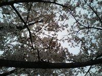 Cherry Blosson View (2)
