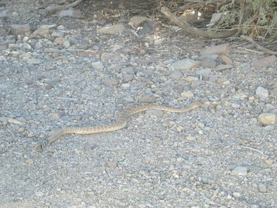 Rattlesnake in Oatman