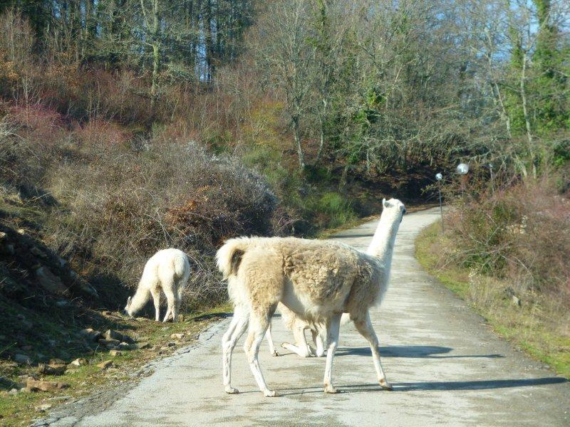 Lama Crossing in Tuscany