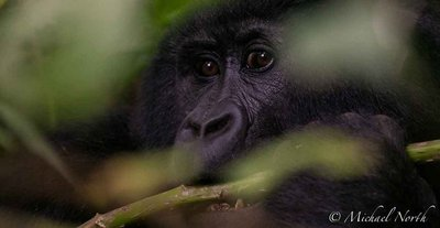 Mountain Gorilla Photography Workshops