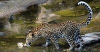 Masai Mara Leopard Image