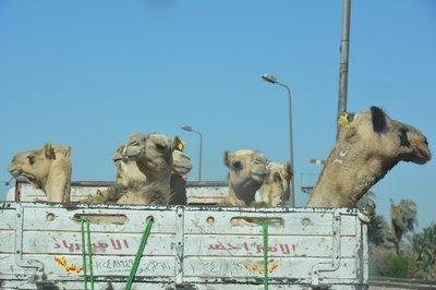 Egypte--drommedaristransport
