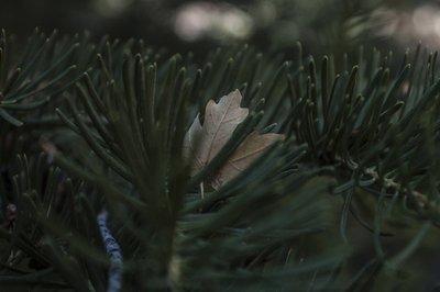 Pine and leaf
