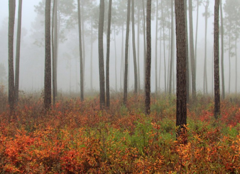 Foggy Autumn Woods