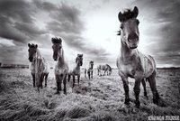Konik horses in the Muese valley.