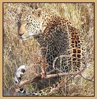 Leopard at sunrise