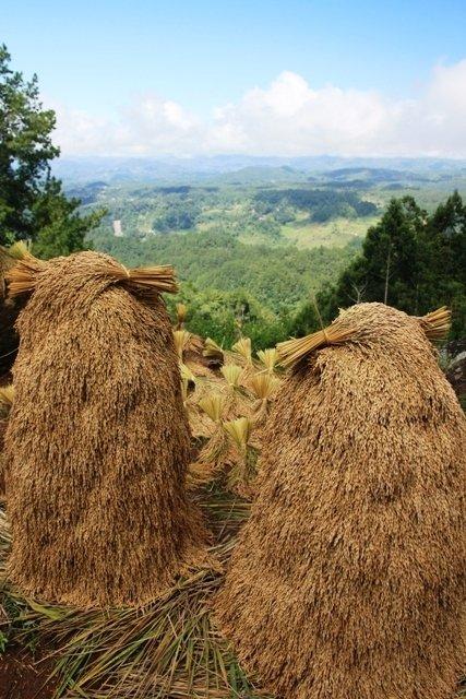 Rice cocks drying