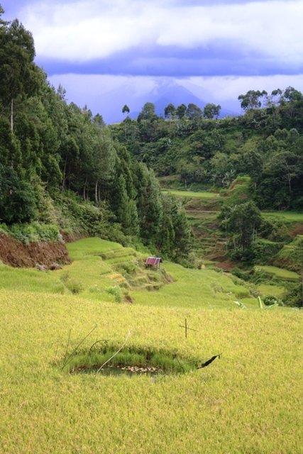 Paddi field with fishing hole