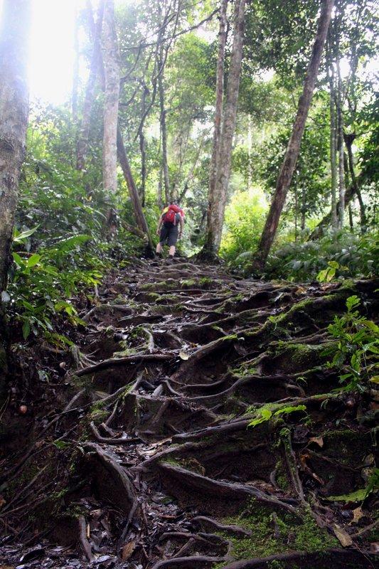 Uphill climb over tree roots