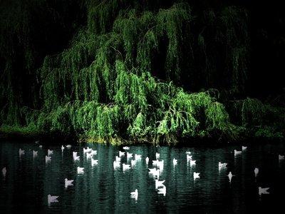 White Ducks, Willow Pond, Dublin.