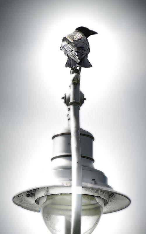 Hooded Crow.  Dublin.