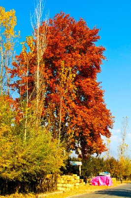The majestic Chinar trees are at their fiery best