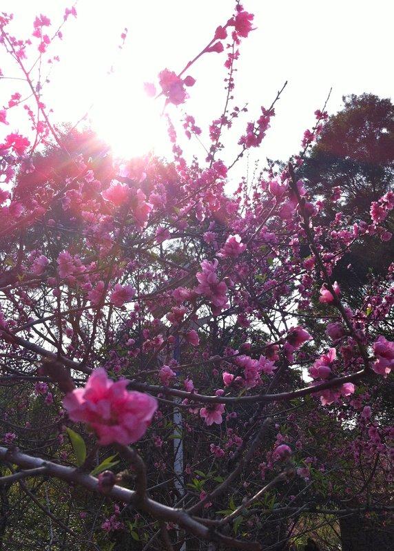 Cherry blossoms in Xiamen, China