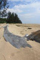 Log on Tutong's beach