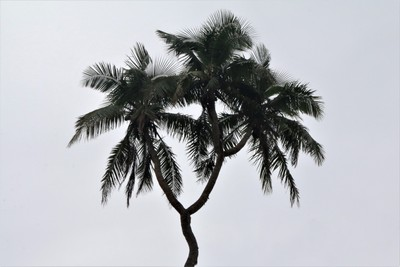 Three-headed Palm Tree