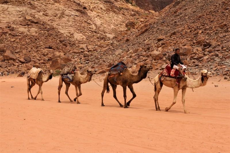 Camel Train, Wadi Rum