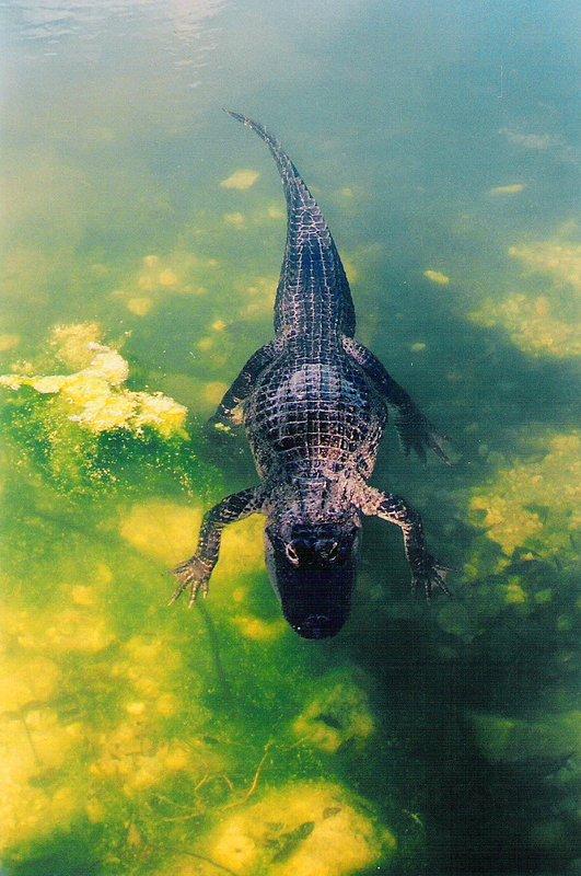 Alligator at Blue Hole, Key West, Dec 98