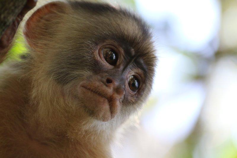 Better Cheeky Monkey, Manaus