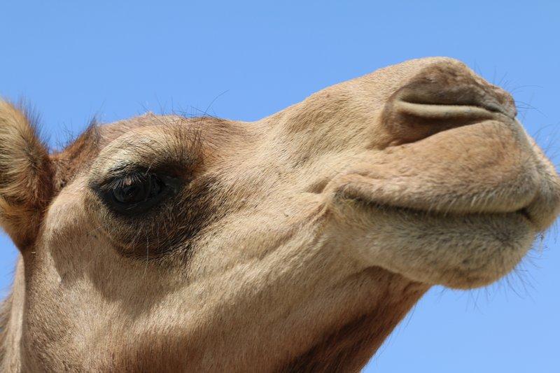 Camel Upclose