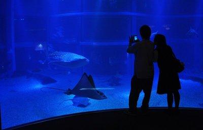 Whale shark... in aquarium