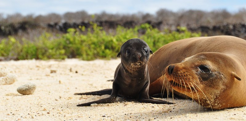 Sea lion puppy and mother