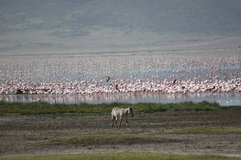 Ngorogoro Flamingoes and Zebra