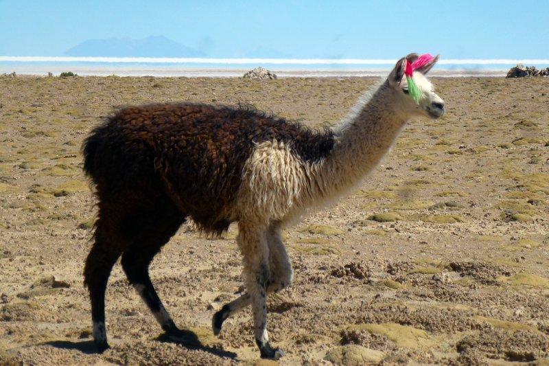 Accessorised Lama