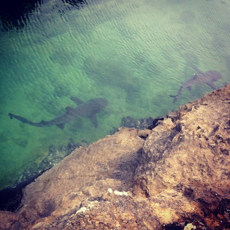 Isabela Island White Tipped Reef Sharks