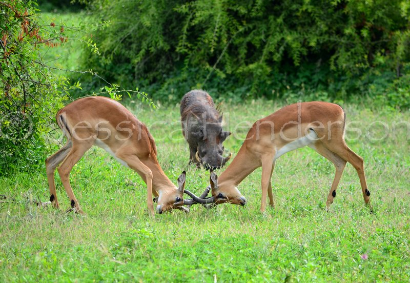 Battle in Chobe