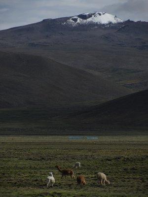 Llamas on the altiplano